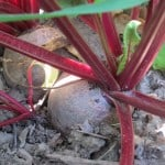 Crowded Beets and Zucchini Blossom End Rot {GROW YOUR OWN}