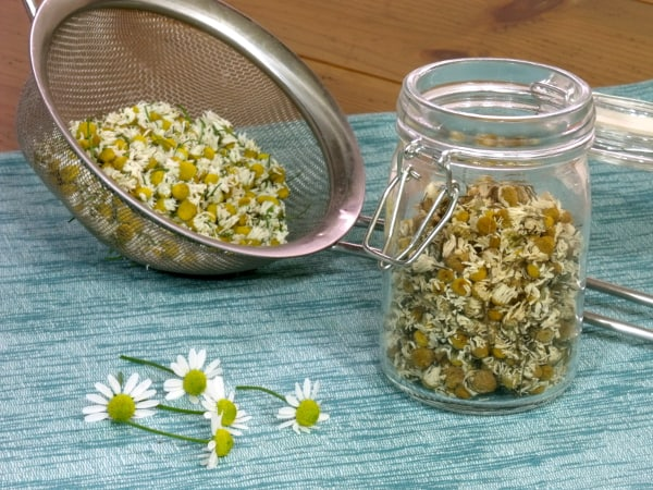 Harvesting Chamomile with Curious Cuisiniere