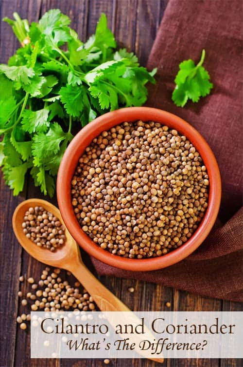 What is coriander? What is cilantro? Are they the same, or different? Learn about these spices and how to use cilantro and coriander in cultural cooking. | www.CuriousCuisiniere.com